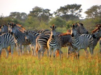 Morning zebras