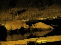 Rhino at midnight